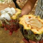 Indonésie - Cacao