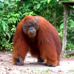 Orang Outan - Bornéo