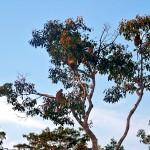 Nasique - Bornéo