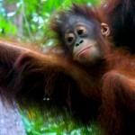 Bébé Orang Outan - Bornéo