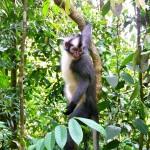 Bukit Lawang - Thomas Monkey