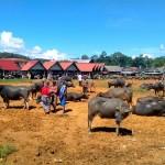 Toraja - Buffle