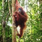 Sumatra - Orang outan