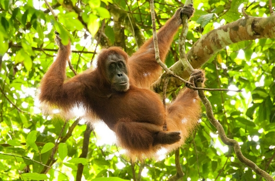 Sumatra - Orang Outang