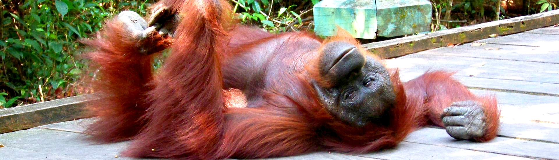 Orang outang - Borneo - Indonesie