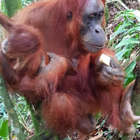 Sumatra - Orang-outan