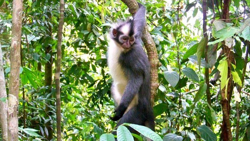 Sumatra - Thomas Leaf Mokey