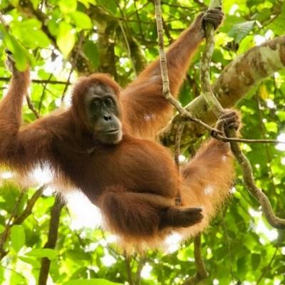 Sumatra - orang-outang